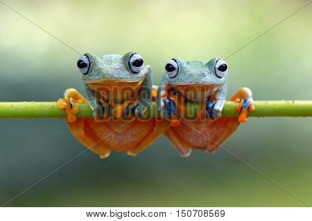 Two tree frog on branch  still waitting