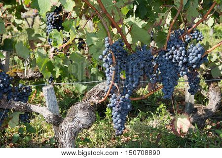 Bunches Of Red Wine Grapes Growing In Fields.