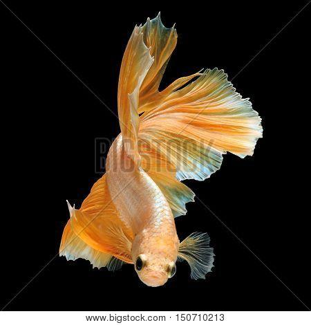 Betta fish siamese fighting fish