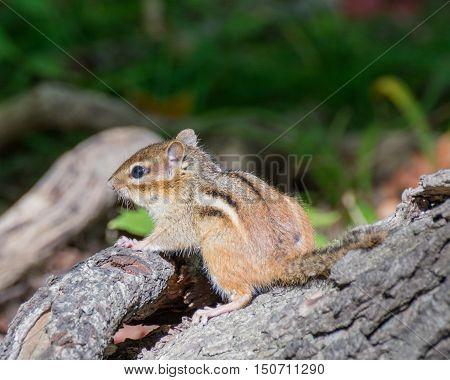 A Chipmunk perched on a tree stump.
