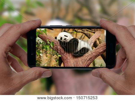 Man taking a photo of sleeping giant panda baby on the tree with smartphone camera