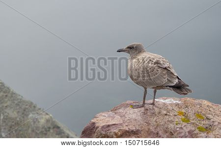 Brownish coloured juvenile, Western (Larus occidentalis) seagull standing atop of a rock on shore, looking and waiting for a breakfast opportunity.   A common bird in Atlantic Canada.