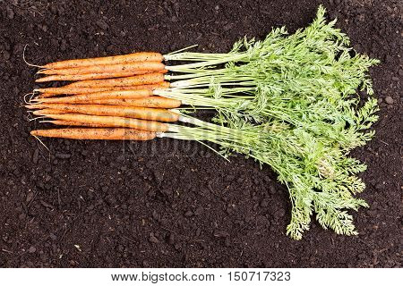 Bunch Of Freshly Picked Homegrown Carrots