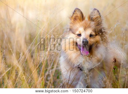 a young shetland sheepdog sits in a field