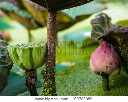 Lotus and lotus seed pods underneath leaf