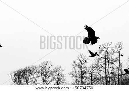 Black crows sitting in the trees and flying in the white sky.