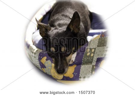 Fox Terrier Sleeping