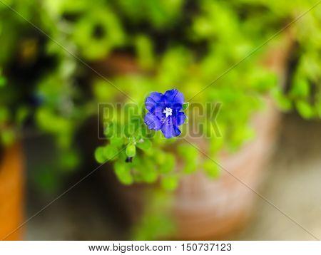ground morning glory blue rock bindweed African bindweed ground blue-convolvulus Convolvulus mauritanicus or Convolvulus sabatius mauritanicus Boiss