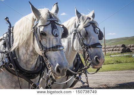 horizontal close up image of two white work horses with their harnesses on