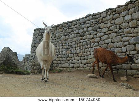Llama at Lost City of Machu Picchu, Peru