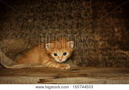 cute little red kitten in bag on wooden table dark background
