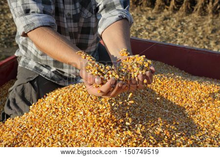 Corn harvest farmer hands holding and pouring heap of seed
