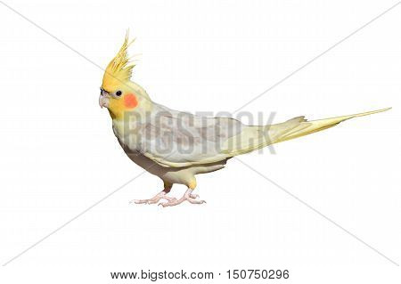White Cockatiel Isolated