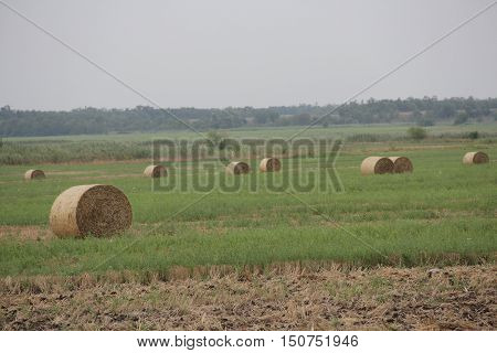 Cylindrical bales of pressed hay on a gold field