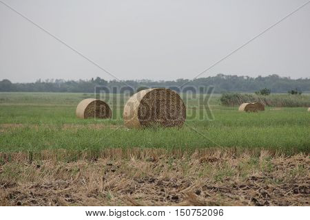 Cylindrical bales of pressed hay to the field