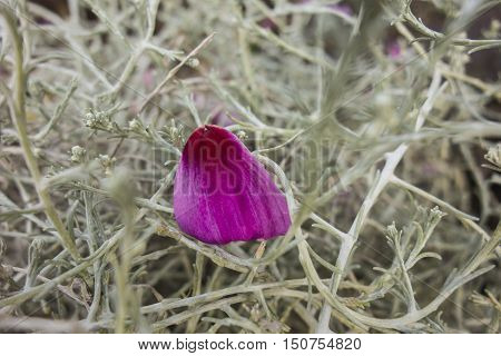 One purple petal on the grey background.