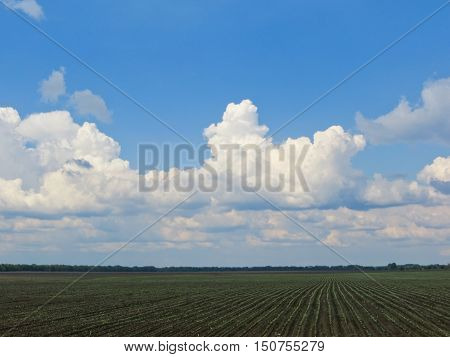 Field of young green wheat on spring