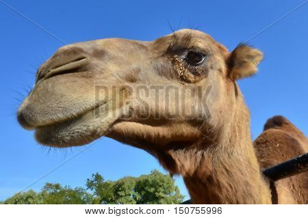 Wildlife Photos - Camel