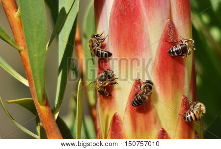 Close up of bees on a Protea bud