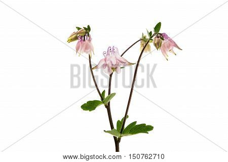 Aquilegia vulgaris flower isolated on white background