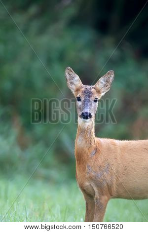 Roe deer in a clearing in the wild, a portrait