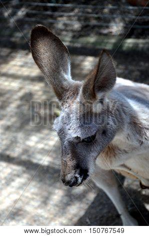 Closeup of Eastern Grey Kangaroo (Macropus giganteus)