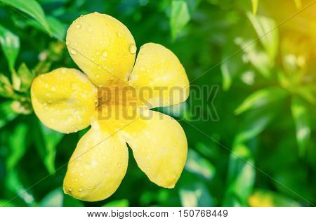 Vintage landscape nature flower background, Closeup yellow flower fall from the tree on green grass, Spring flower, Spring background