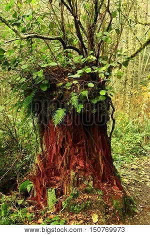 a picture of an exterior Pacific Northwest forest with a  Western red cedar tree stump with ferns and salal