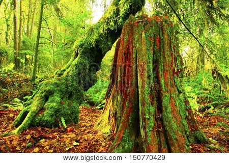 a picture of an exterior Pacific Northwest forest o Western red cedar and Vine maple trees