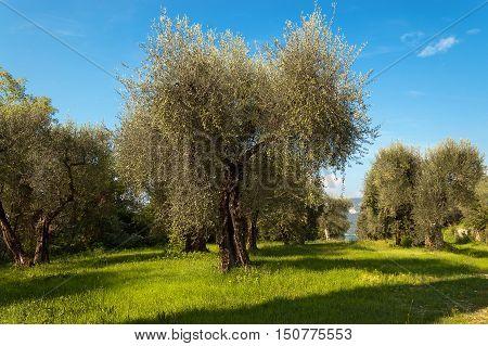 Olive grove (olives trees) near Malcesine on the Garda Lake (Lago di Garda). Verona Veneto Italy