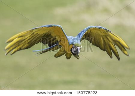 A blue and gold - yellow - macaw (Ara ararauna) here flying with wings outstretched and eyes closed.