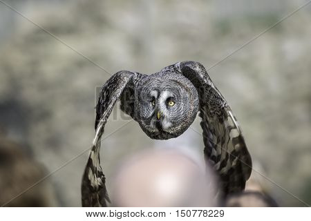 Great Grey - Gray - Owl (Strix nebulosa) flying low over people's heads at a public bird of prey display