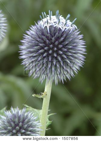 Seed Head  Eryngium