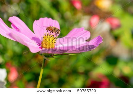 A bee pollinates pink flower in the garden