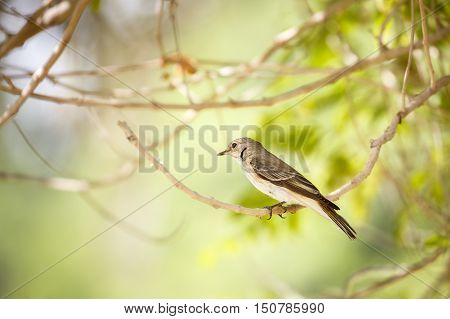 A Spotted Flycatcher in a garden in Bahrain