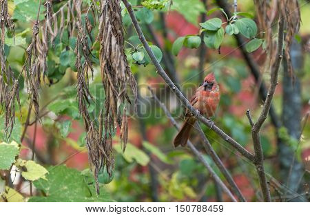 A male robin sits on a branch