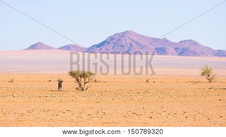 Oryx resting under shadow of Acacia tree in the colorful Namib desert of the majestic Namib Naukluft National Park best travel destination in Namibia Africa.