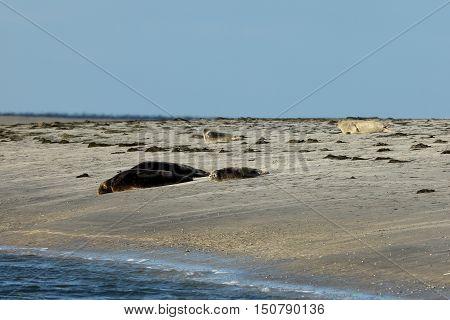 The Seals on the sandbank of the north sea