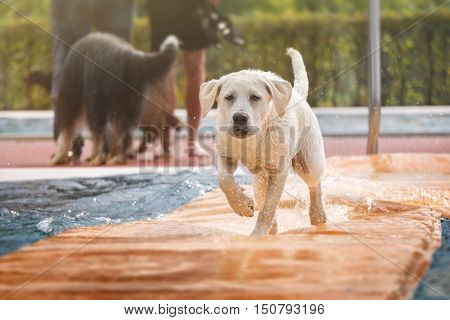 young labrador retriever dog puppy running over the water in a swimming pool