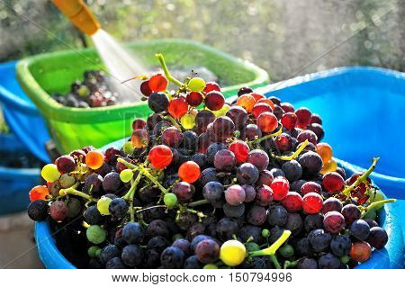 Ripe grape growing at wine fields in Italy. Close up view of fresh wash Adolescent Grapes