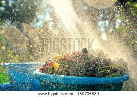 home wash grapes under running water in a bowl