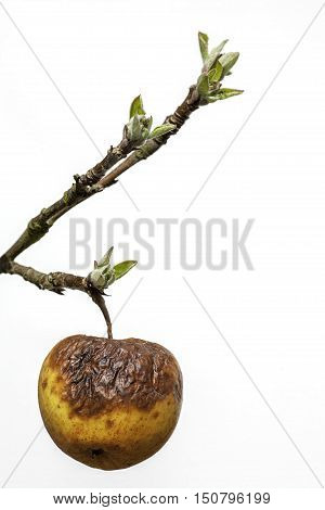 This image symbolises old age as a withered rotten apple clings to a branch with new buds. This has many societal connotations surrounding care of the elderly; age related mental health and the generation gap. It is also a useful picture of an old apple!