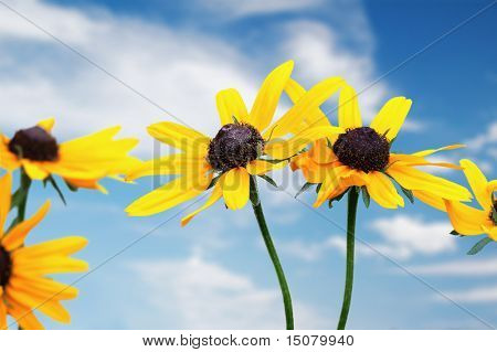 yellow rudbeckia under blue sky