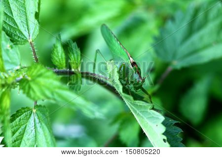 Big green grasshopper on a stinging nettle for backgrounds.