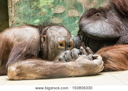 Orangutans - Pongo pygmaeus - playing in zoo. Monkeys in captivity. Animal scene. Father and son.