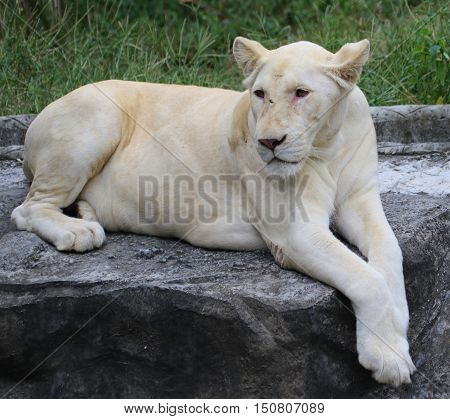 white mutation lioness relaxing on a rock, zoo south of Songkhla, Thailand