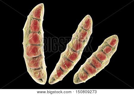 Fungi Fusarium which produce mycotoxins in cereal crops that affect humans and animals, 3D illustration showing conidia