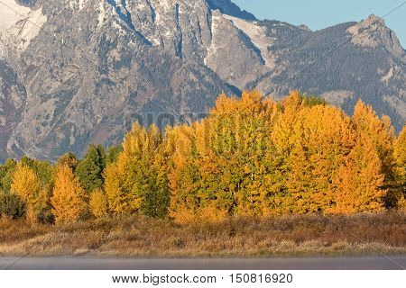 colorful aspen grove in fall in teton national park wyoming