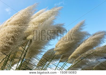 Bushy white pampas grass in front of blue sky