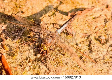 Dragonfly Anax Imperator